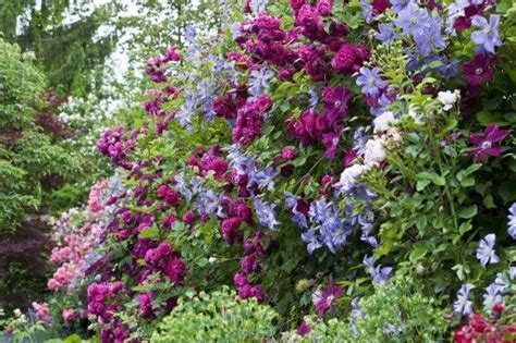 tuin prins charles geschwindt s sch 246 nste clematis prince charles in the