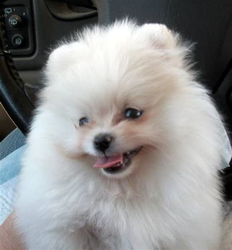 pomeranian california pomeranian puppies for sale in california southern