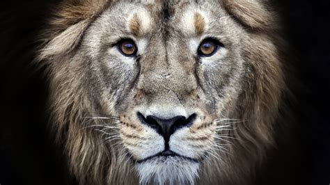 imagenes 4k wallpaper animales wallpaper lion hd 4k animals 6914