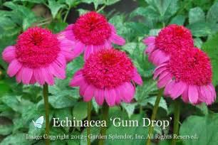 echinacea purpurea gum drop shipping june 2012