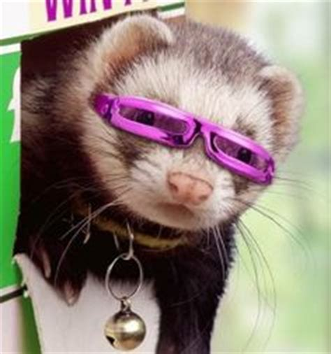 Ferret Background Check 1000 Images About Ferrets On Ferrets In