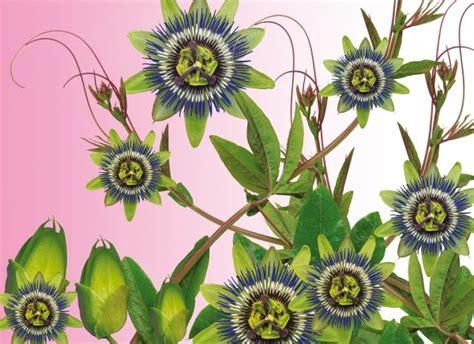 fiore passiflora passiflora fiore della passione consigli coltivazione