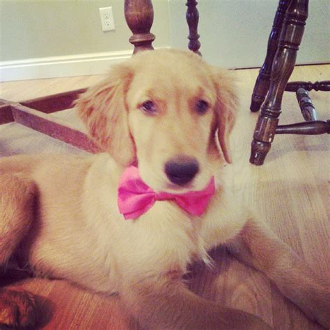 how much is a golden retriever puppy worth that darn 187 how much does a puppy cost