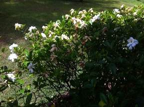 high c gardenias 169 best mygardenanswers images on pinterest