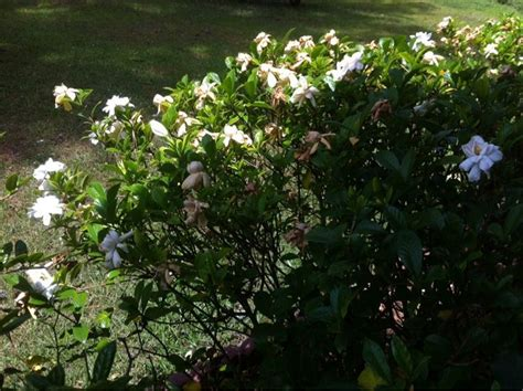 high c gardenias 169 best mygardenanswers images on pinterest the plant