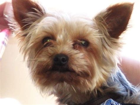 hypoglycemia in yorkie puppies how to take care of a teacup yorkie puppy cuteness