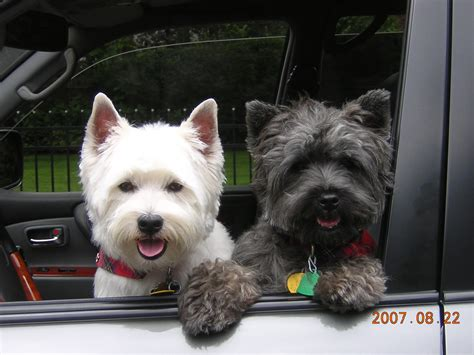 black west highland terrier puppies for sale westies puppies for sale
