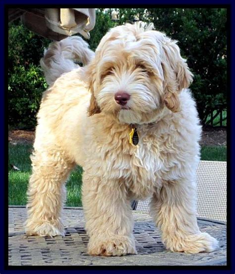 doodle hair types mini goldendoodle grooming styles search