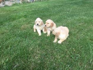 golden retrievers for sale in ma view ad golden retriever puppy for sale massachusetts mattapoisett usa