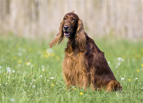 red setter dog info irish red and white setter dog breed information pictures