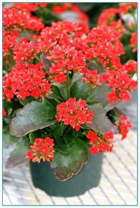 winter flowering house plants