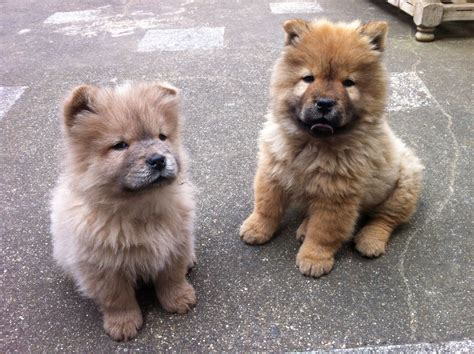 chow puppies for sale chow chow puppies for sale one left pets4homes