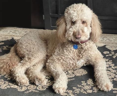 6 year golden retriever beautiful teddy at 6 years golden retriever and standard poodle bored panda