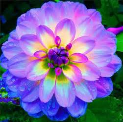 What Is A Dahlia Flower - the nicest pictures rainbow blue dahlia