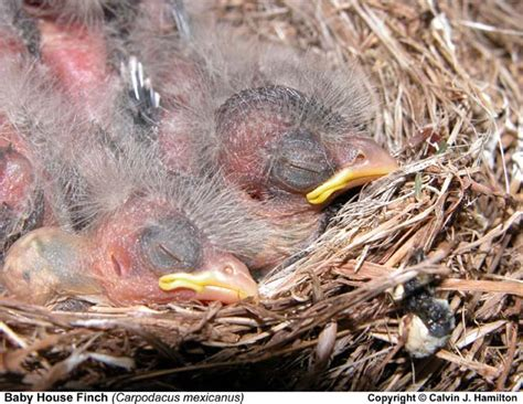 baby house finch pictures baby house finch 28 images baby house finch bird