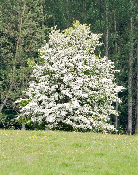 garden tree types hawthorn tree care tips for growing hawthorn plants