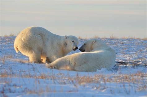 wildlife photos from churchill churchill polar bears