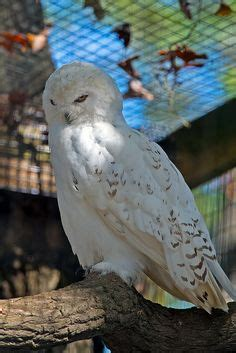 Snowy Owl Kit168 ä á Chæ I M 244 H 236 Nh GiẠY Miá N Ph 237 - snowy owl with owls snowy owl