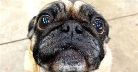 can pugs be trained pug begging for food how to correct this behaviour