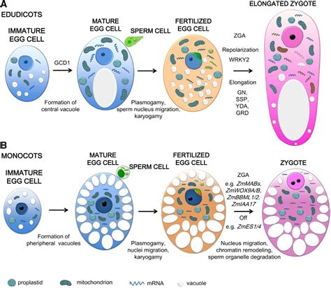 pattern formation in plant embryogenesis does early embryogenesis in eudicots and monocots involve