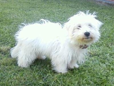 maltese puppy has wavy hair after hhairas ir cut maltese puppy has wavy hair after first hhairas ir cut fox