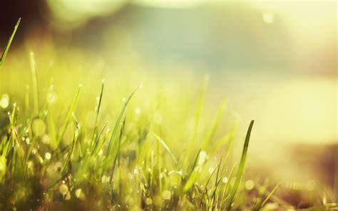 wallpaper bunga rumput gambar ilalang dan padang rumput yang indah