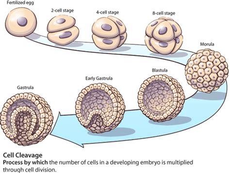 blastula diagram morula