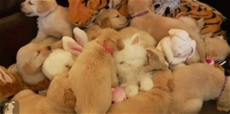 golden retriever puppy gif golden retriever puppy gif find on giphy