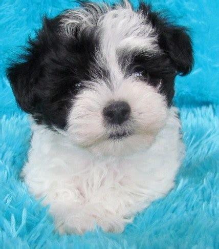 black maltese puppies malti poo designer dogs