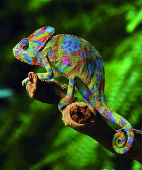 veiled chameleon colors pin by mike kinney on photos i admire
