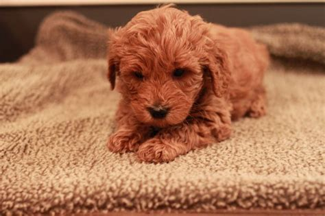 goldendoodle puppy week by week nike 6 weeks goldendoodle puppy nike the