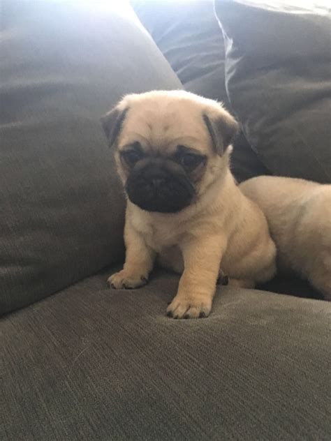 fawn pug puppy fawn pug puppies bournemouth dorset pets4homes