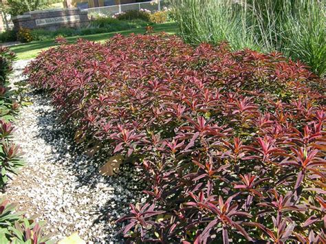 euphorbia bonfire shady to part shady plants pinterest