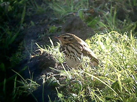 Set Kutubaru Pipit 2 Pink a w birder always on the lookout for birds