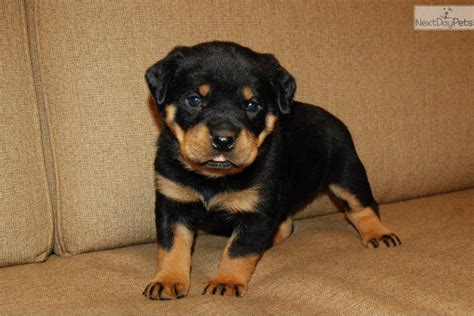 rottweiler puppies for sale in harrisburg pa cheyenne rottweiler puppy for sale near harrisburg pennsylvania ce5f5bd7 4da1
