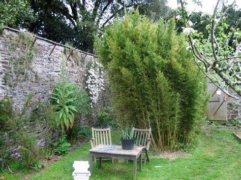 backyard bamboo garden chusquea culeou