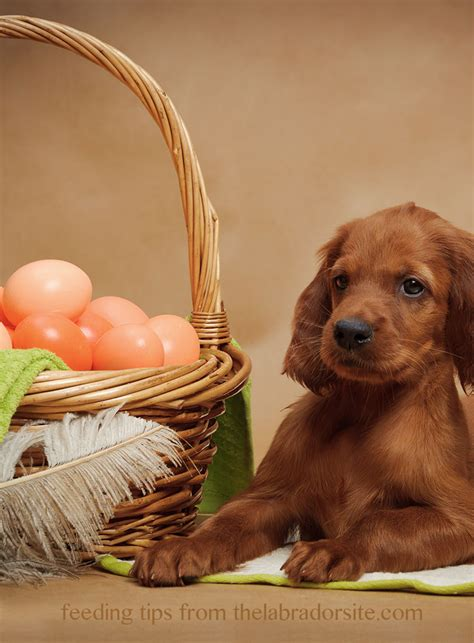 puppy eggs can dogs eat eggs a food safety guide by the labrador site