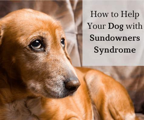 sundowners in dogs how to help your with sundowners senioradvisor