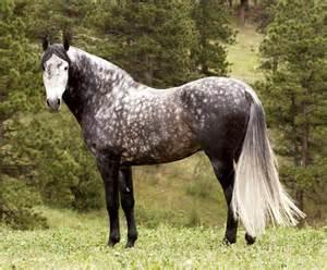 andalusian colors grey dappled andalusian andalusian stallion animals