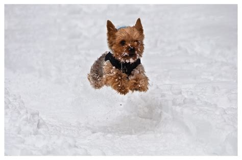 yorkies in the snow 17 best images about yorkie snow on snow bunnies its cold and
