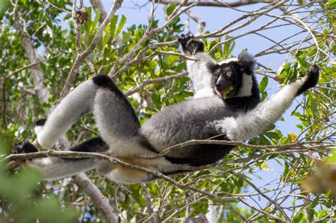 Indri Set lemur alert more than a dodo