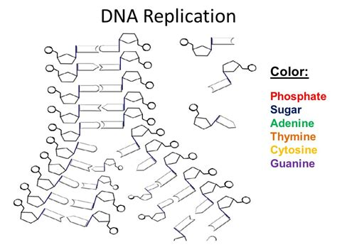 Dna Replication Coloring Worksheet by Dna Song Row Row Row Your Boat Ppt