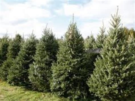 where to buy a christmas tree in nh patch