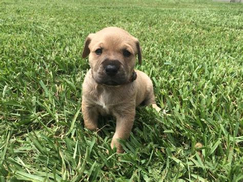 pitbull golden retriever mix golden retriever blue nose pitbull mix www imgkid the image kid has it