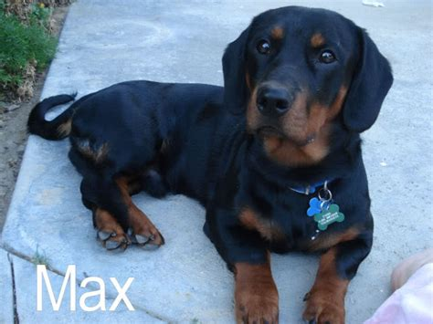 basset hound and rottweiler mix what do you think basset hounds basset hound forums