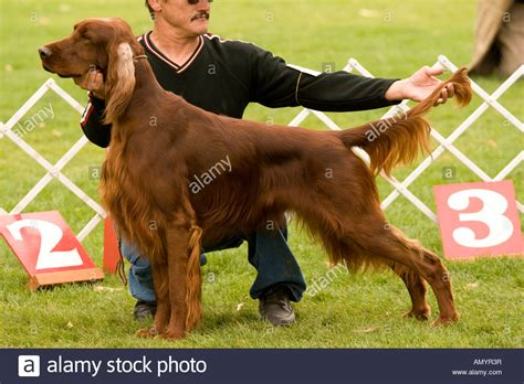 irish setter dog show red irish setter at dog show stock photo royalty free