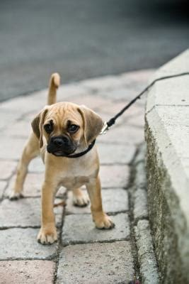 how to get a puppy to walk on a leash how to get a stubborn puppy to walk on a leash care the daily puppy