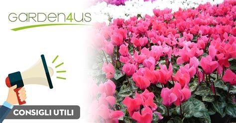 come coltivare fiori fiori autunnali come coltivare il ciclamino in vaso