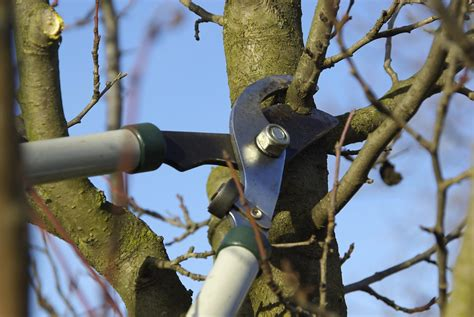 time  pruning fruit trees   prune  fruit tree