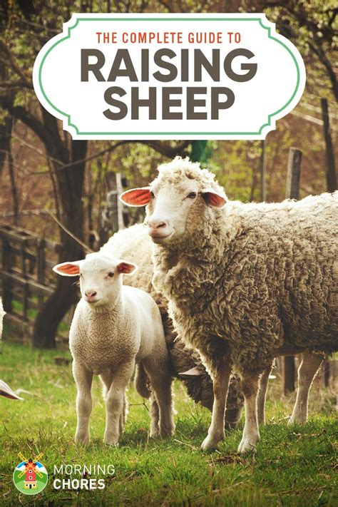 rising sheep raising sheep a complete guide on how to raise sheep at homestead